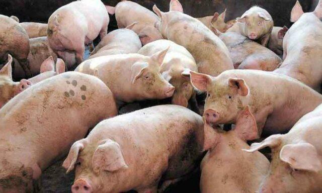 Cientistas chineses identificam novo vírus da gripe em porcos